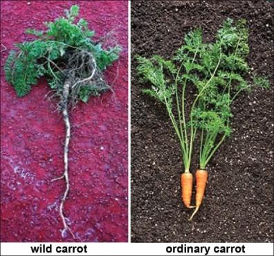 Zanahoria silvestre y la convencional