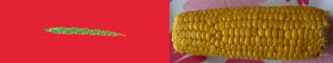 Teosinte y maíz convencional