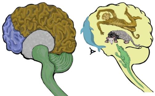 Modelo cuatriuno del cerebro