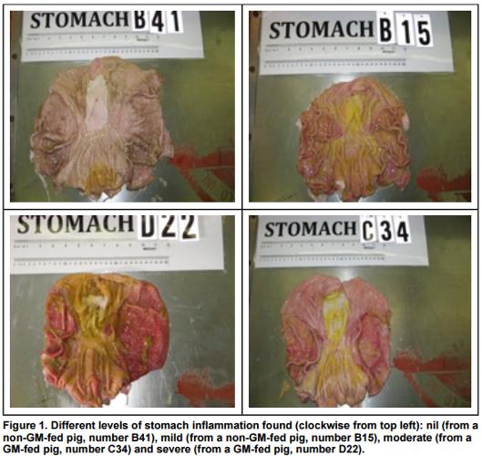 Estómagos de los cerdos según Carman et al, 2013, p. 45.