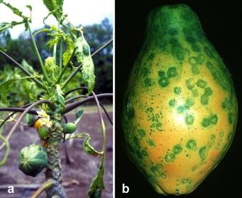 Papaya con el virus de manchas anulares