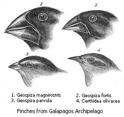 Los pinzones encontrados por Darwin en las Galápagos