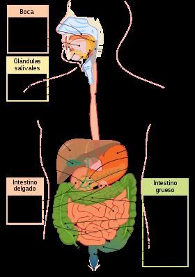 Representación del sistema digestivo