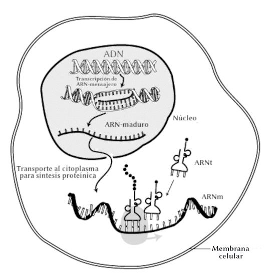 Interacción-ARNm